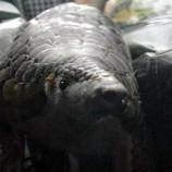 70 Trenggiling Yang Akan Diseludupkan Berhasil Di Gagalkan Di Riau