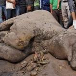 Bangkai Gajah Di Temukan Di Kebun Kelapa Sawit Di Bengkulu