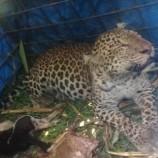 Tertangkap Warga Ciamis, Macan Tutul Akan Segera Dilepasliarkan